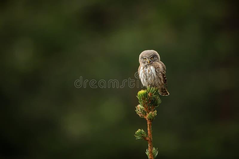 Glaucidium passerinum 它是最小的猫头鹰在欧洲 它主要在北欧发生 库存图片