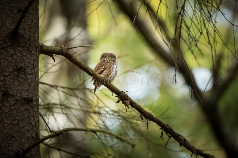 Glaucidium passerinum. It is the smallest owl in Europe. It occurs mainly in northern Europe. But also in Central and Southern Europe. In some mountain areas stock photography