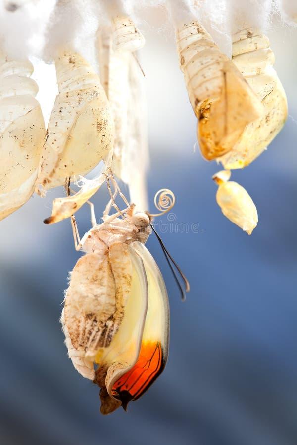 glaucippe hebomoia 库存图片