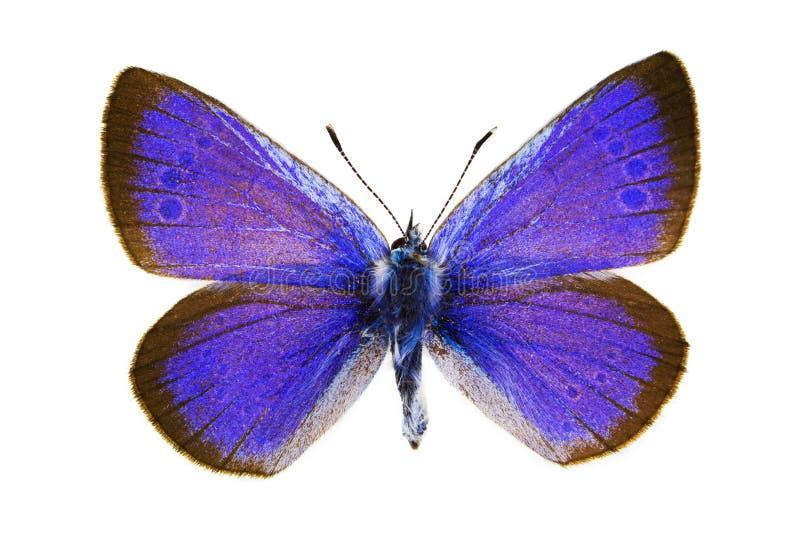 Glaucopsyche Alexis (bleu de Vert-côté en dessous) photos stock