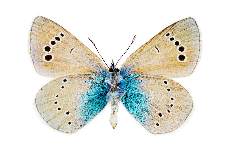 Glaucopsyche Alexis (blu di Verde-parte di sotto) fotografia stock