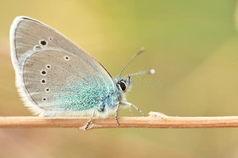 Glaucopsyche alexis  butterfly of the family Lycaenidae stock image