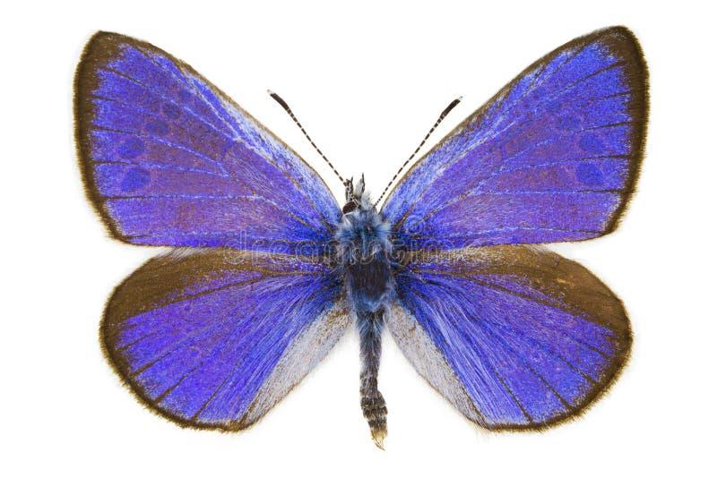 Glaucopsyche alexis (Green-underside Blue) royalty free stock photos