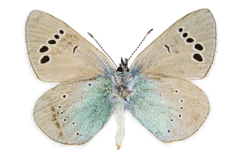 Glaucopsyche alexis (Green-underside Blue) royalty free stock photography