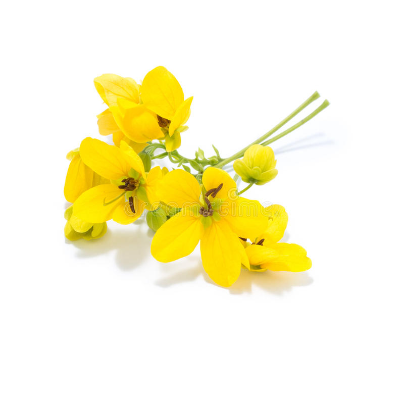 Free Glaucous Cassia Flower Stock Photography - 57855222