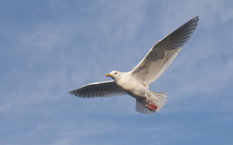 Glaucous Gull royalty free stock images