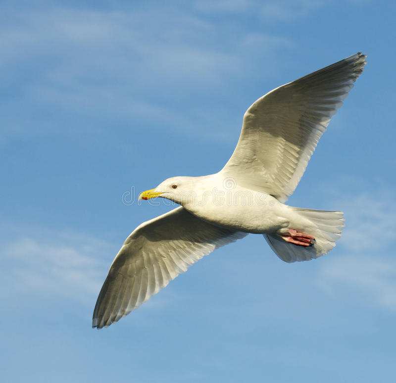 Glaucous Gull, Larus hyperboreus. Flying with blue sky and clouds in background stock photography