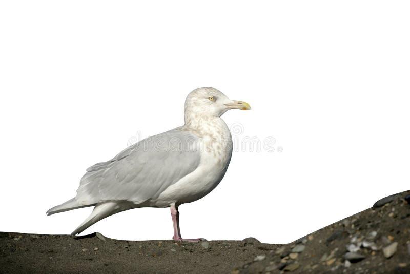 Glaucous gull, Larus hyperboreus. Single bird on rock, Japan stock photo