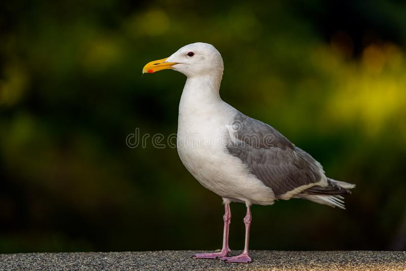 Glaucous-winged Gull Larus glaucescens standing on pier at the seaside, Vancouver, British Columbia, Canada stock photo