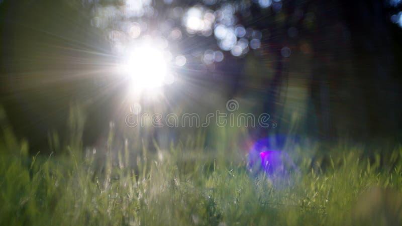 Gleam surpreendente da luz solar durante o por do sol com grama verde como o fundo da natureza largamente fotos de stock