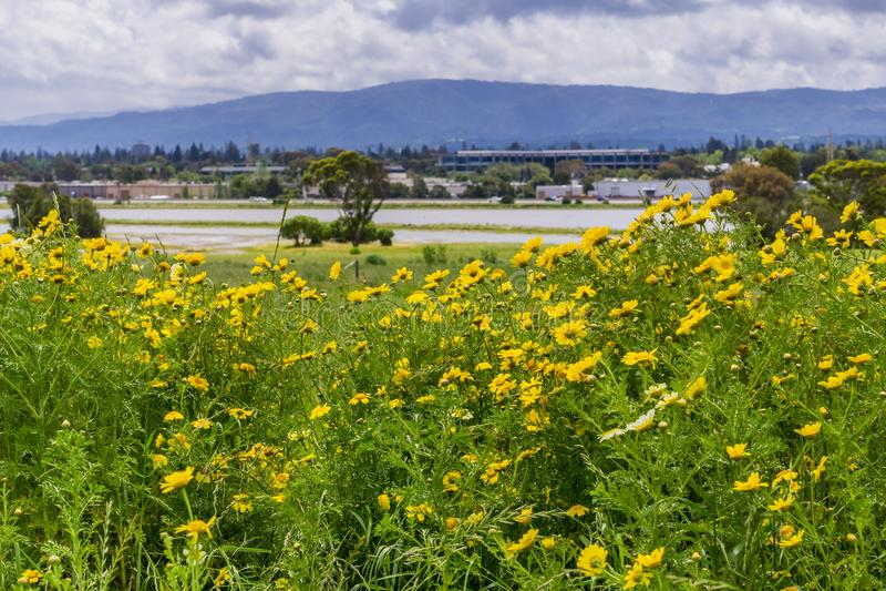 Glebionis för havreringblomma som segetum blommar på ett fält royaltyfria bilder