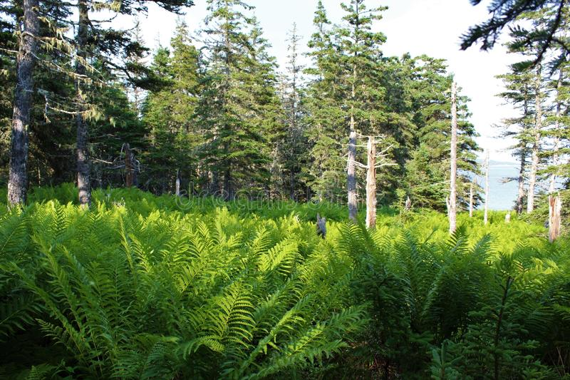 A glen with ferns in a seaside forest near Louisburg, Cape Breton Island. A ferny glen near the ocean on the rugged coast of Nova Scotia royalty free stock image