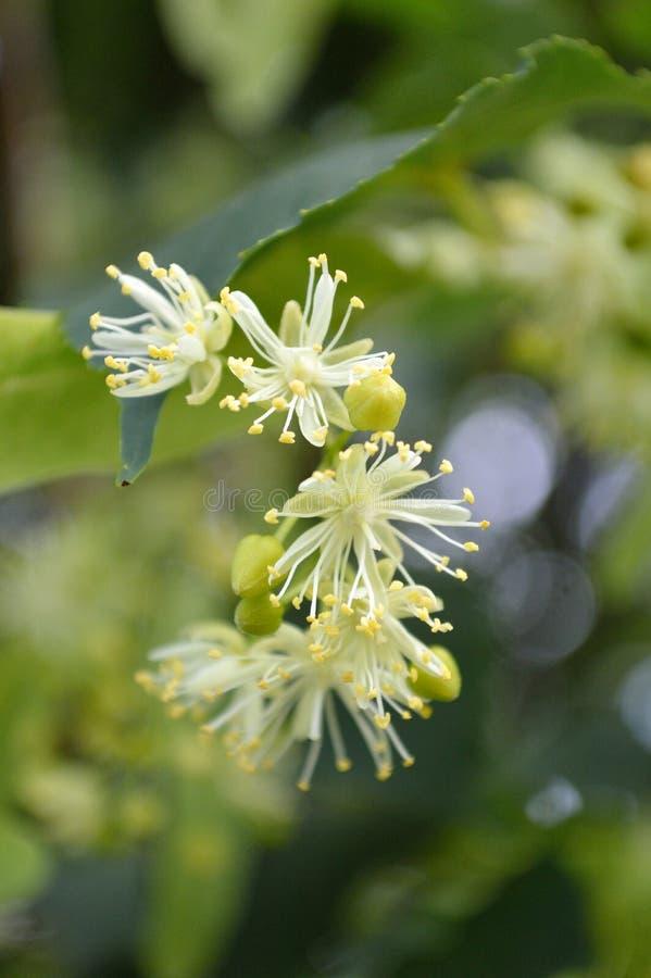 Glenleven Linden Tree blommar closeupen fotografering för bildbyråer