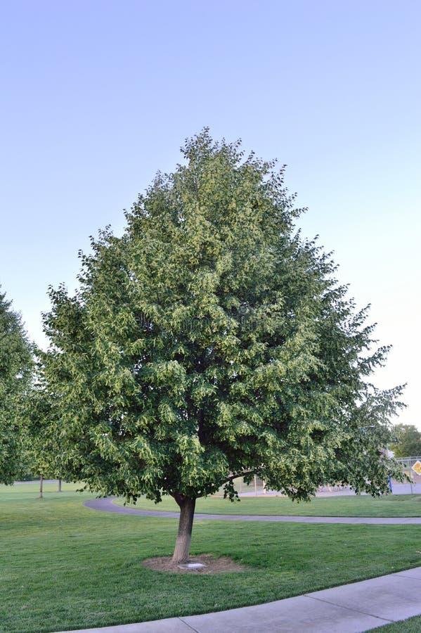 Glenleven Lipowy drzewo obrazy stock