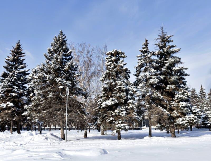 Gli abeti coperti di neve lanuginosa fresca nella città parcheggiano su una mattina gelida soleggiata immagine stock