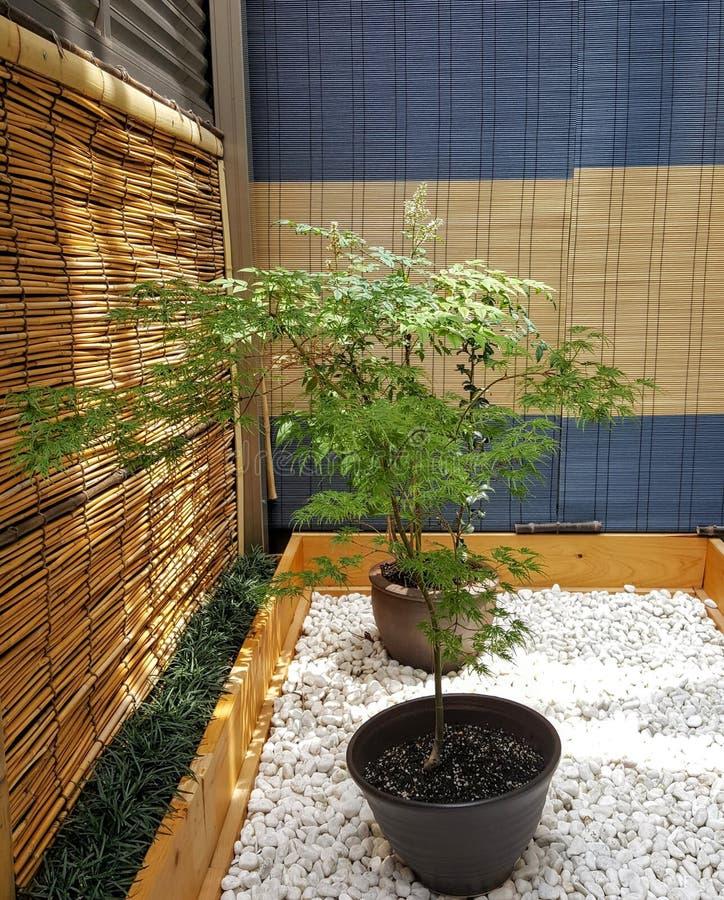 Gli aceri giapponesi conservati in vaso si siedono in un piccolo giardino di zen su un terrazzo posteriore fotografia stock libera da diritti