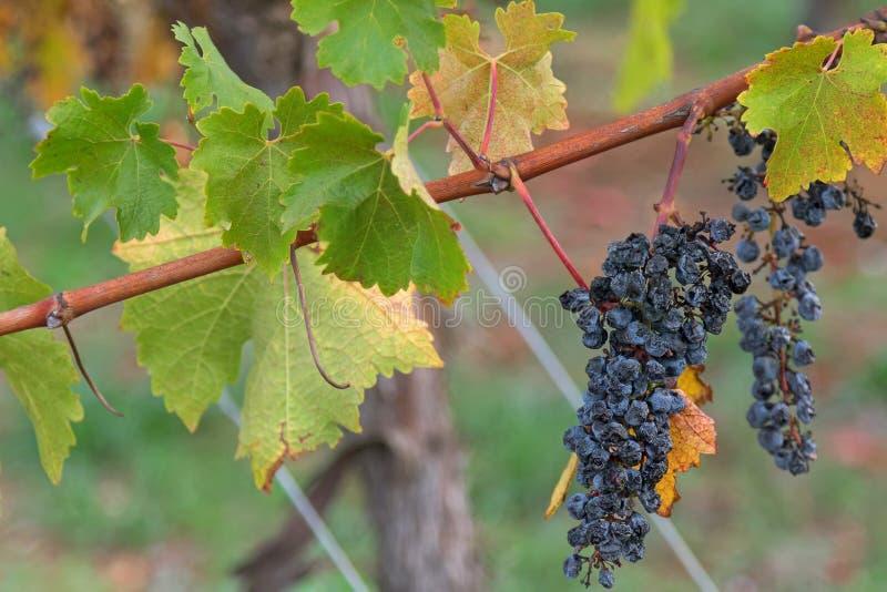 Gli acini d'uva maturi maturati che crescono sul calcare costeggiano in Coonawa immagini stock
