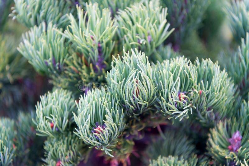 Gli aghi attillati si chiudono su struttura naturale Umore di Natale per aroma Aghi dell'albero di abete sui rami Filiale dell'al fotografia stock