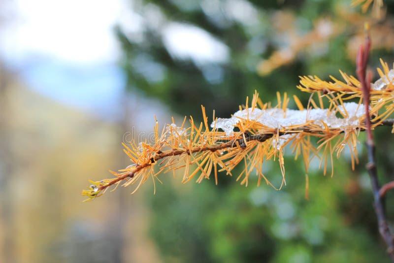 Gli aghi gialli di autunno del larice hanno coperto la prima neve, fuoco molle selettivo su fondo, primo piano Conifera con immagine stock libera da diritti