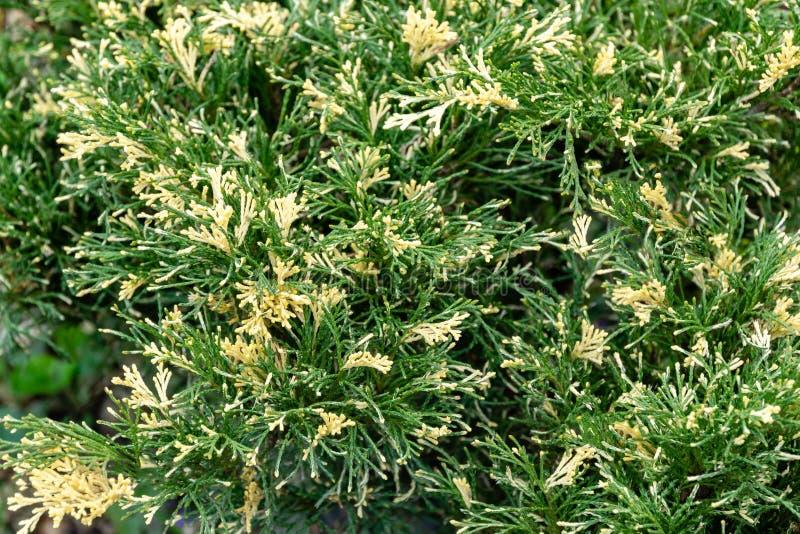 Gli aghi variegati luminosi con il juniperus bianco Sabina Variegata del ginepro del cosacco di punte decora tutto il giardino fotografia stock libera da diritti