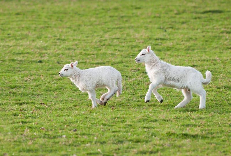 Gli agnelli (aries del Ovis) funzionano attraverso il pascolo immagine stock