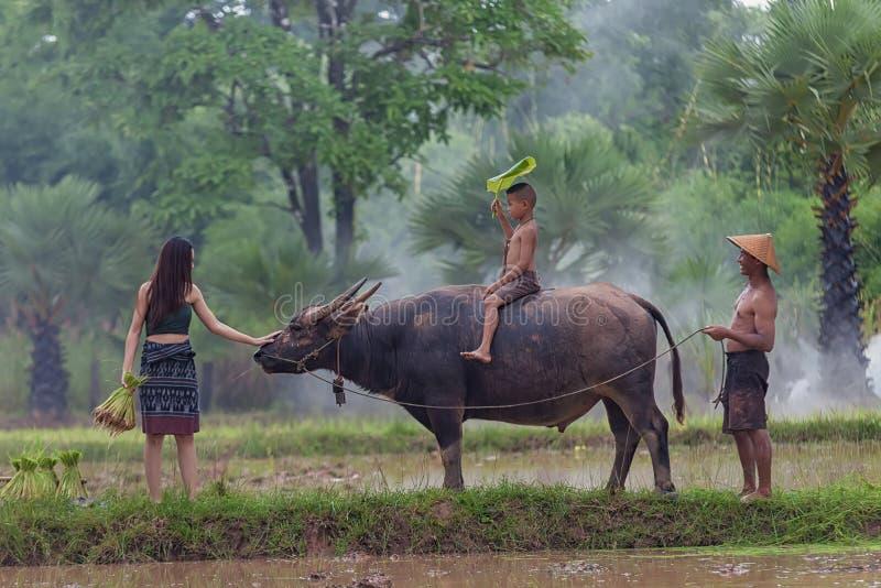 Gli agricoltori asiatici stanno usando il bufalo per arare fotografia stock libera da diritti