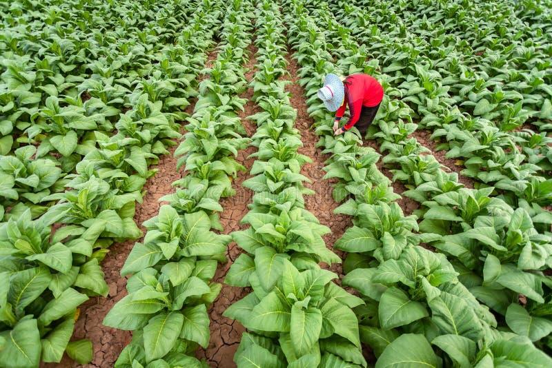 Gli agricoltori asiatici stavano coltivando il tabacco in un tabacco convertito che cresce nel paese, Tailandia immagine stock libera da diritti