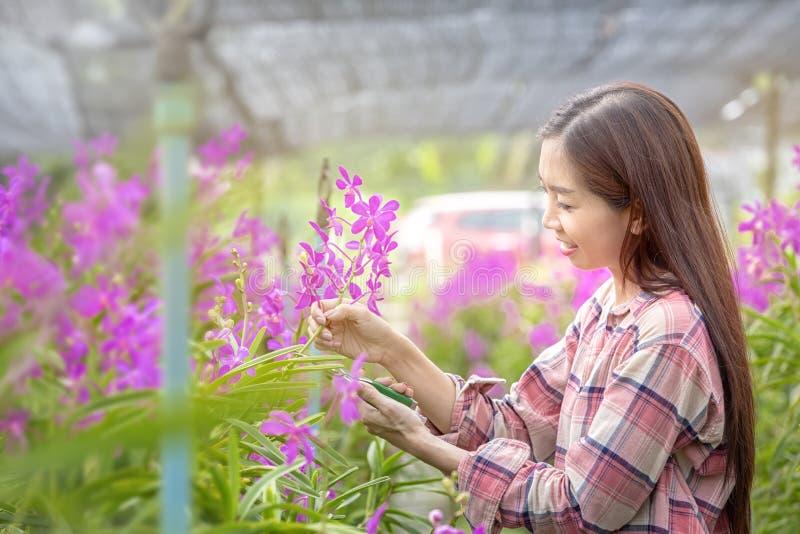 Gli agricoltori femminili felici stanno raccogliendo i fiori dell'orchidea da vendere Bella donna che lavora nell'azienda agricol fotografia stock