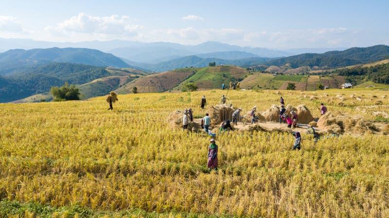 Gli agricoltori raccolgono l'azienda agricola del riso con il modo tradizionale immagini stock