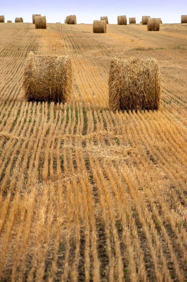 Gli agricoltori sistemano in pieno delle balle di fieno con la fila di stoppia immagine stock libera da diritti