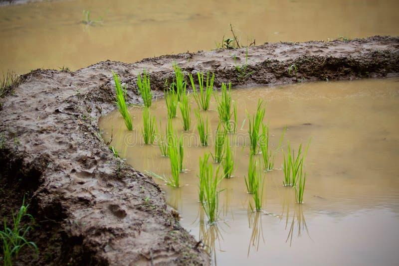 Gli agricoltori stanno coltivando il riso fotografia stock