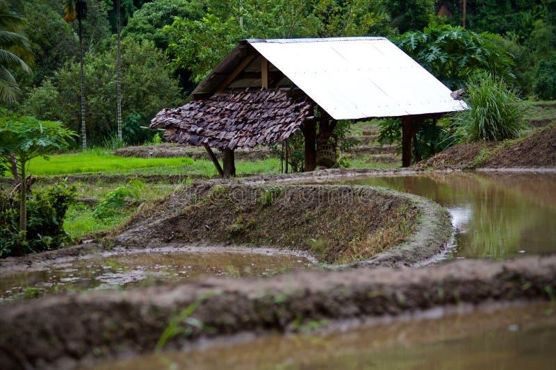 Gli agricoltori stanno coltivando il riso immagine stock