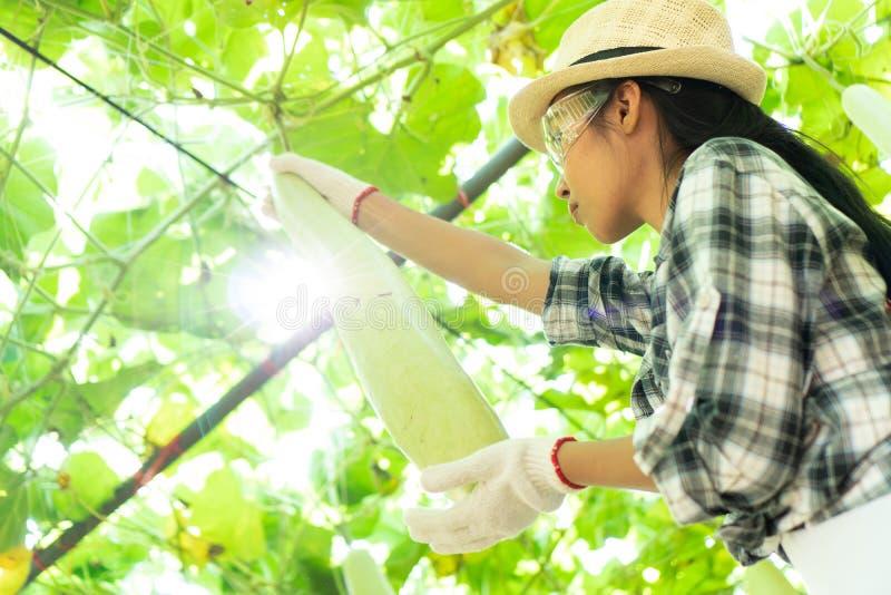 Gli agricoltori stanno controllando la qualità dei prodotti agricoli immagini stock libere da diritti
