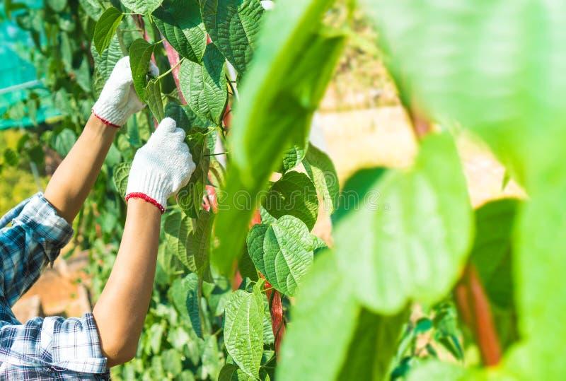 Gli agricoltori stanno controllando la qualità del prodotto agricolo fotografia stock