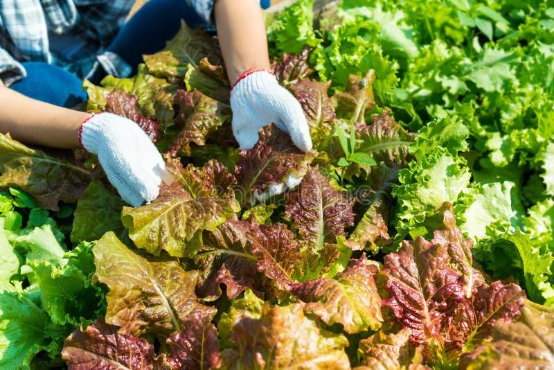 Gli agricoltori stanno controllando la qualità delle verdure verdi della quercia immagine stock libera da diritti