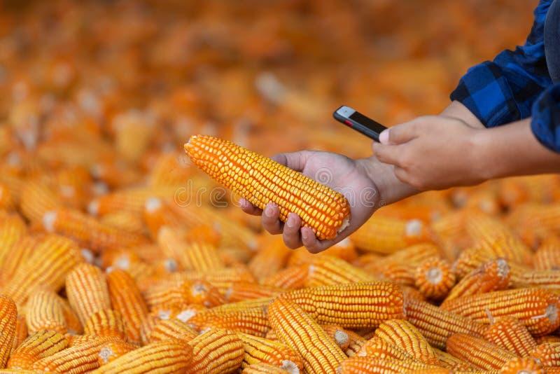 Gli agricoltori stanno controllando le pannocchie ai loro campi, cereale per alimentazione animale Dal telefono cellulare fotografie stock