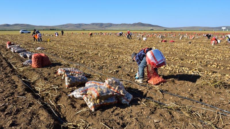 Gli agricoltori stanno raccogliendo le patate sul pascolo fotografia stock libera da diritti