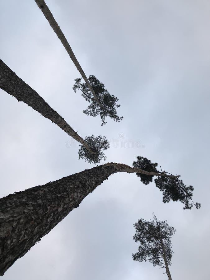 Gli alberi alti di Irpen, Ucraina appena fuori di Kyiv, Ucraina immagine stock libera da diritti