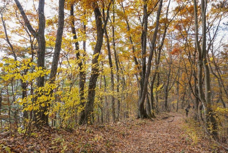 Gli alberi cambianti colourful di colore in autunno intorno alla montagna di Fuji nel lago Kawaguchiko, Giappone fotografia stock