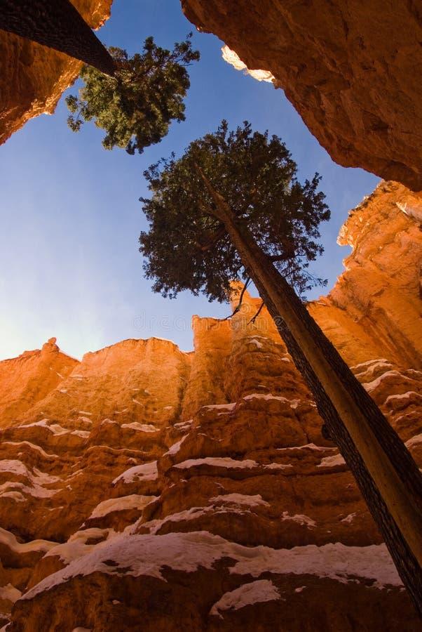 Gli alberi crescenti fra i Hoodoos immagini stock libere da diritti