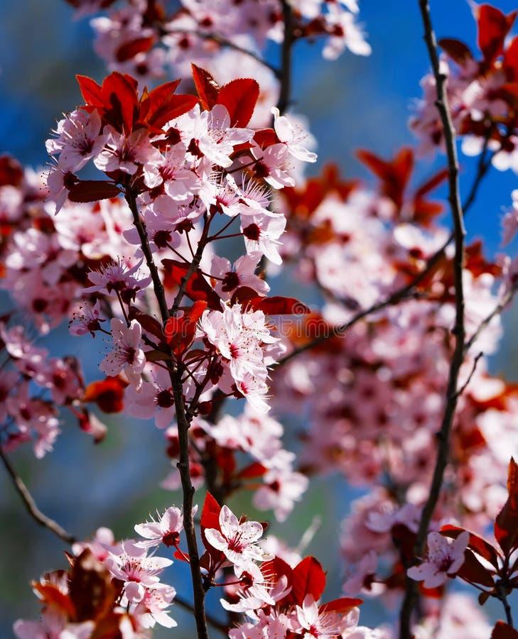 Gli alberi da frutto stanno fiorendo in primavera fotografie stock