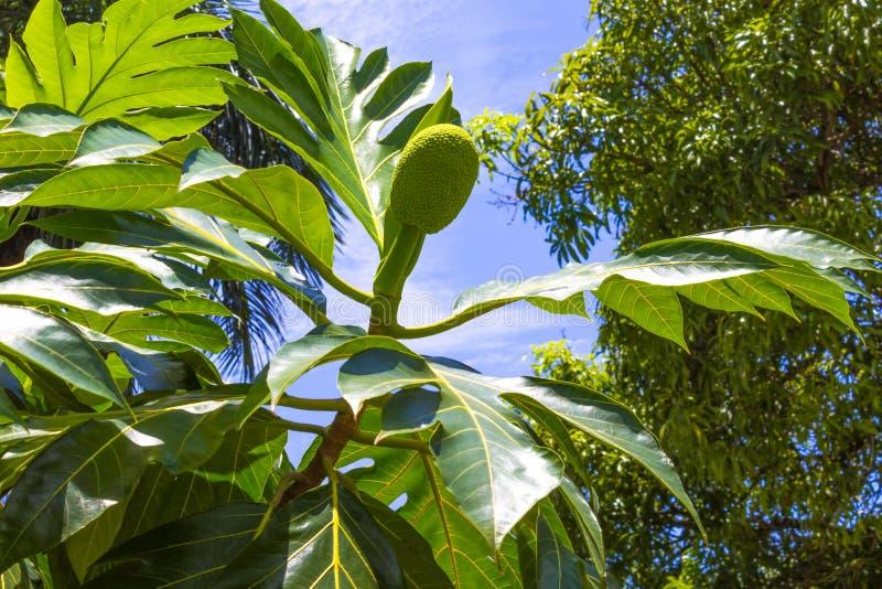 Gli alberi del pane maturi che appendono all'albero Ci sono molti alberi di alberi del pane intorno fotografie stock