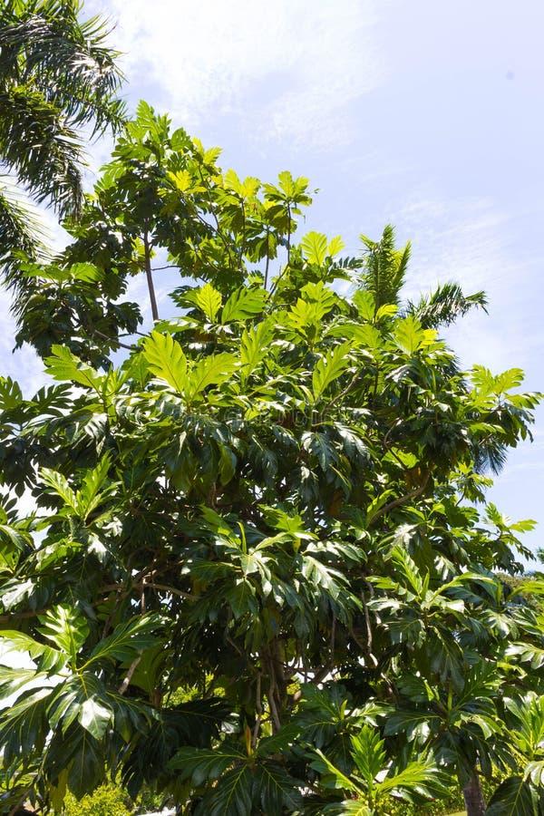 Gli alberi del pane maturi che appendono all'albero Ci sono molti alberi di alberi del pane intorno immagini stock libere da diritti