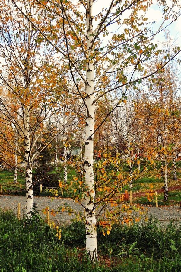Gli alberi di betulla gialli di autunno in Zaryasye parcheggiano a Mosca fotografia stock libera da diritti