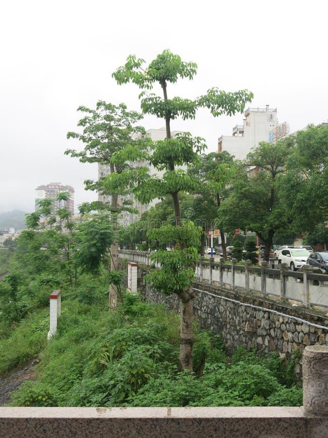 Gli alberi di capoc lungo il fiume si sviluppano molto bene immagini stock