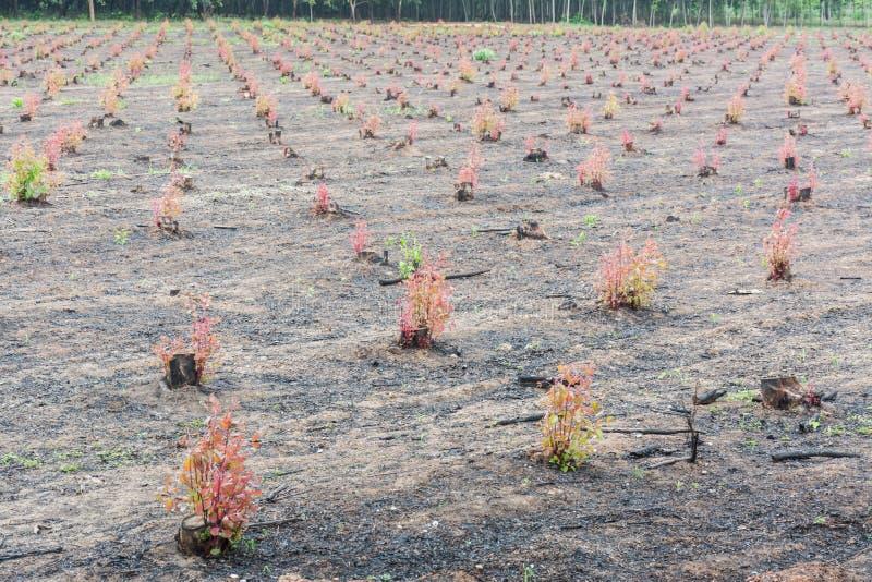 Gli alberi di eucalyptus fotografia stock libera da diritti