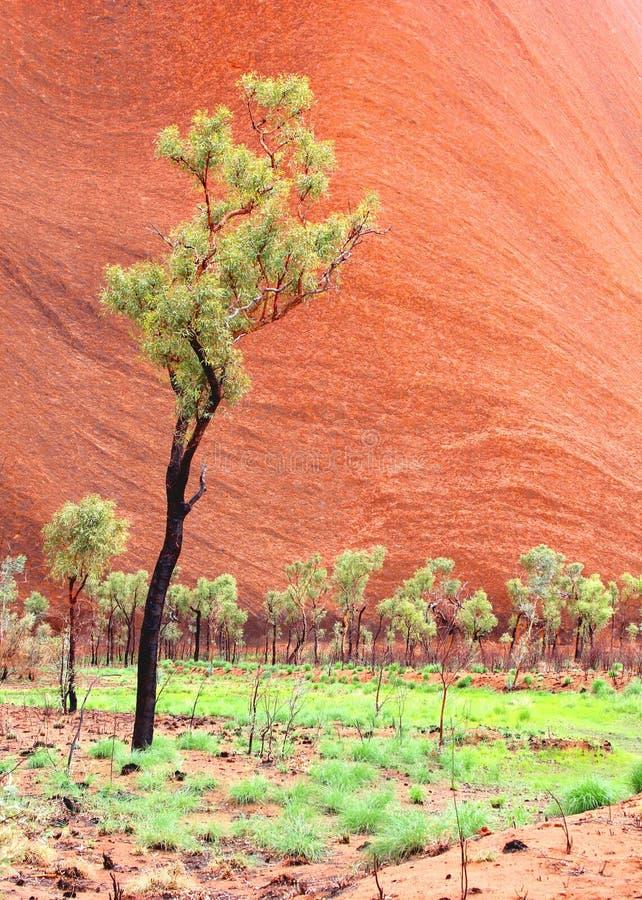 Gli alberi di eucalyptus ai precedenti di Uluru Ayers oscillano, Australasian fotografie stock libere da diritti