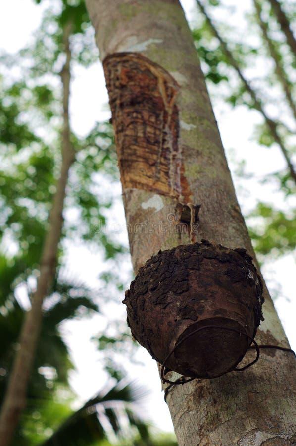 Gli alberi di gomma in Tailandia immagini stock libere da diritti