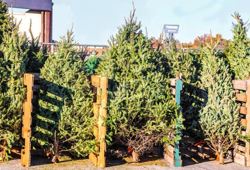 Gli alberi di Live Christmas da vendere in un lotto della città hanno sistemato secondo la dimensione ed il tipo fotografia stock