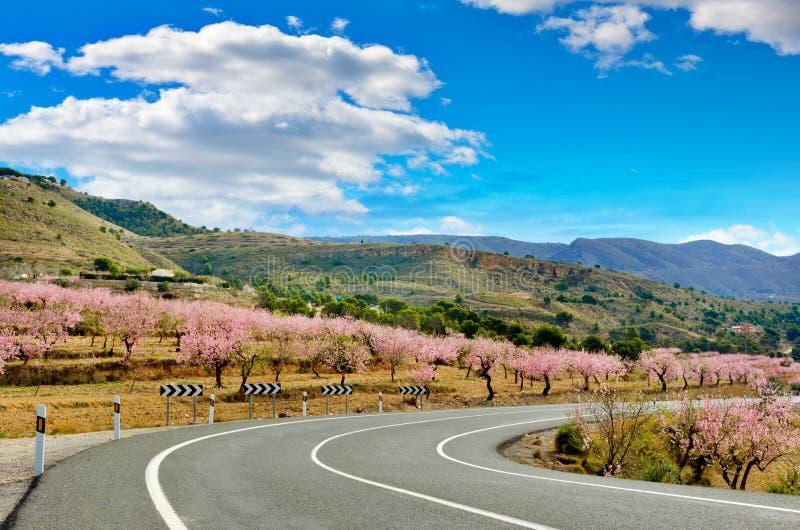Gli alberi di mandorla fiorisce da entrambi i lati di una strada, Spagna fotografie stock